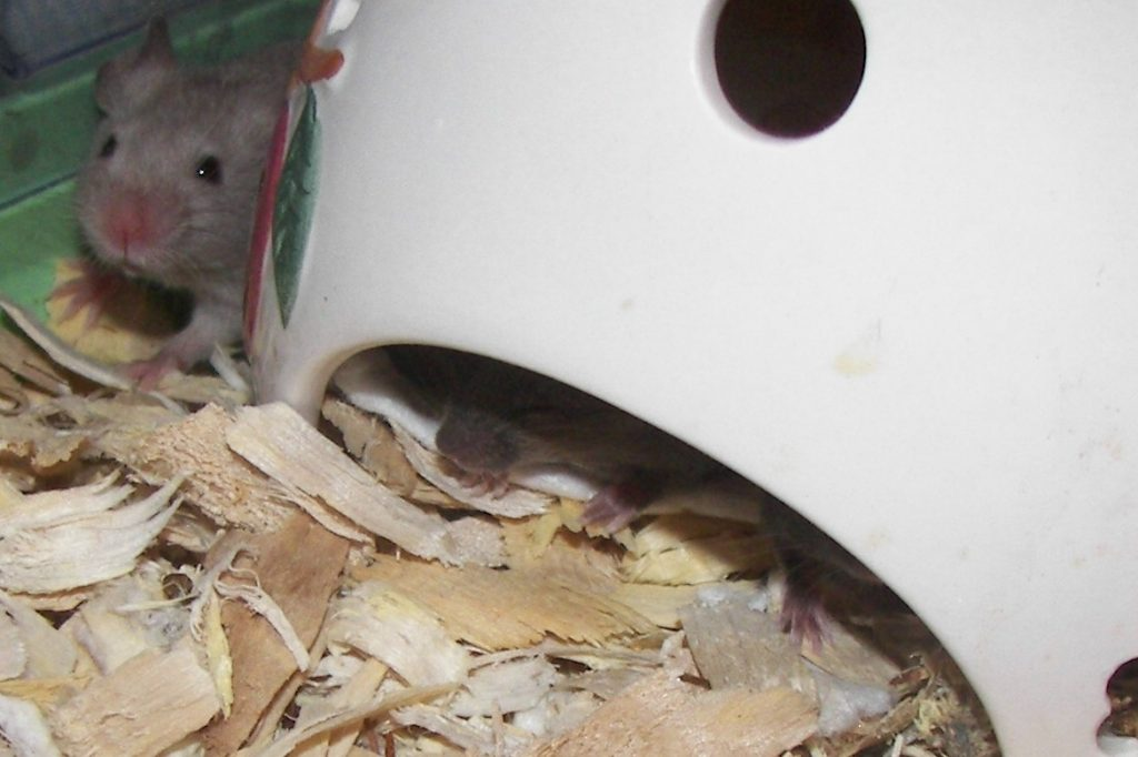 ten day old baby mouse